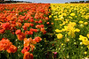CARLSBAD FLOWER FIELDS IX