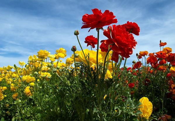 CARLSBAD FLOWER FIELDS XIV