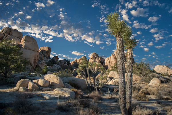 SHADES OF JOSHUA TREE