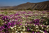 BORREGO WILDFLOWERS II