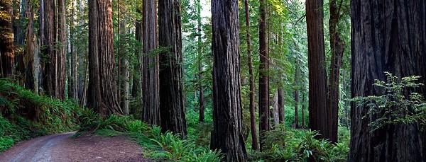 CALIFORNIA REDWOODS PANORAMA