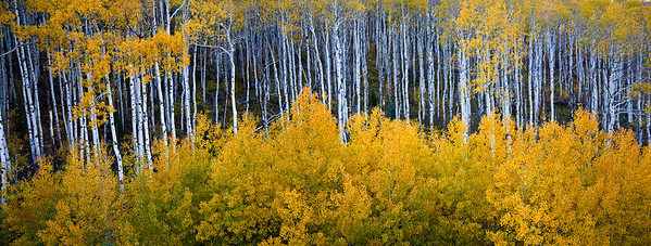ASPEN STAND NEAR MARBLE,  CO