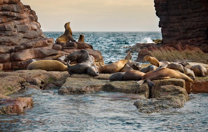 SEA LIONS--LOS ISLOTES, SEA OF CORTEZ