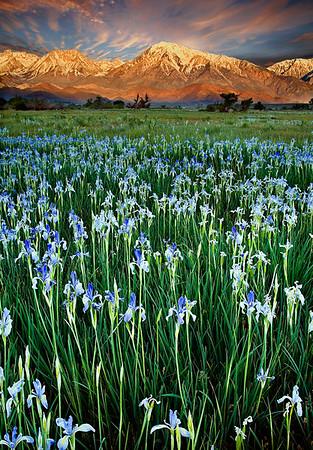 WILD IRIS, BISHOP, CALIFORNIA