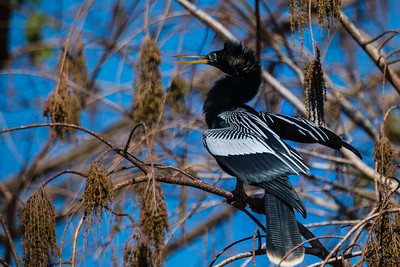 "A male anhinga or ""snake bird"" stretches its wings to dry while balanced on a tree limb in Green Cay Wetlands in Boynton Beach, Florida on Friday, February 26, 2016. (Joseph Forzano / The Palm Beach Post)"