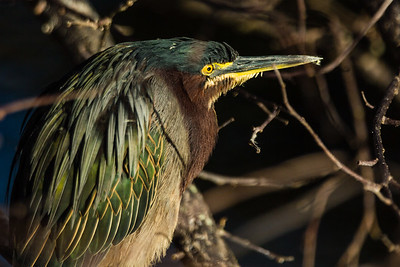 A green heron is illuminated by the morning sun at Wakohatchee Wetlands in  Delray Beach, Florida on Friday, February 26, 2016. (Joseph Forzano / The Palm Beach Post)