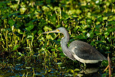 A tricolored heron stalks its prey in the vegetation of Wakohatchee Wetlands in  Delray Beach, Florida on Friday, February 26, 2016. (Joseph Forzano / The Palm Beach Post)
