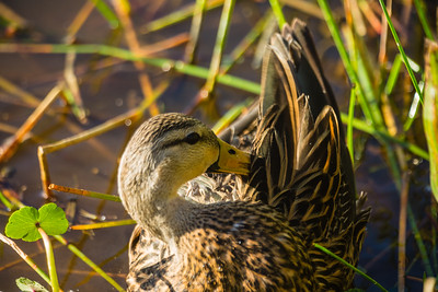 A mottled ducks preens its feathers at  Wakohatchee Wetlands in  Delray Beach, Florida on Friday, February 26, 2016. (Joseph Forzano / The Palm Beach Post)