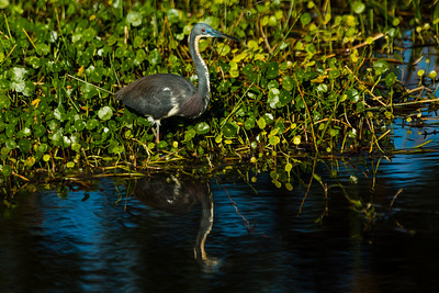 A tricolored heron is reflected in the waters at Wakohatchee Wetlands in  Delray Beach, Florida on Friday, February 26, 2016. (Joseph Forzano / The Palm Beach Post)