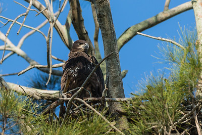 A eaglet sits in its nest in a large pine tree on Corkscrew Road (Old US 27), near South Bay, south of Lake Okeechobee on Monday, May 9, 2016.  Most of the eaglet's down has been replaced by feathers. The average bald eagle nest is 4 to 5 feet in diameter and 2 to 4 feet deep. (Joseph Forzano / The Palm Beach Post)