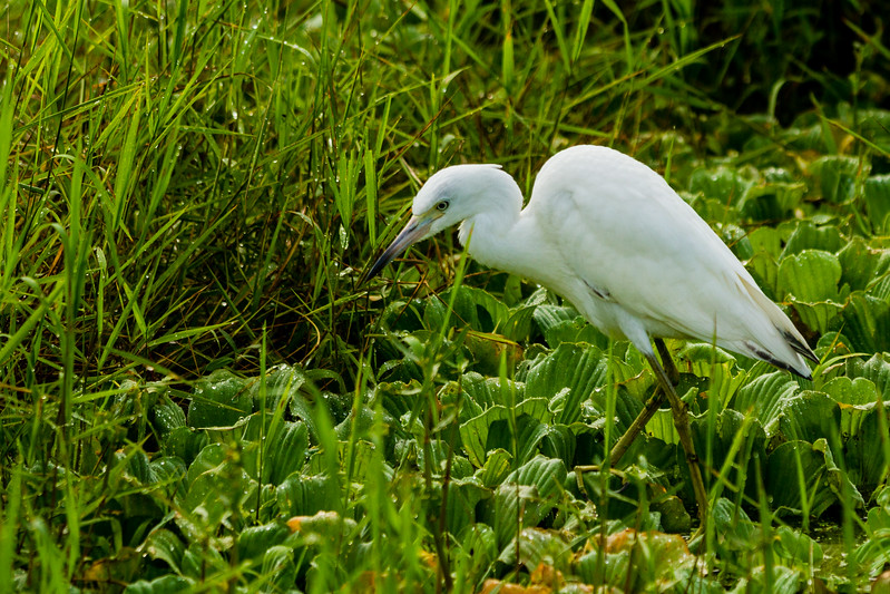 A great egret stalks its' prey in a canal in South Bay on Friday, June 10, 2016. (Joseph Forzano / The Palm Beach Post)