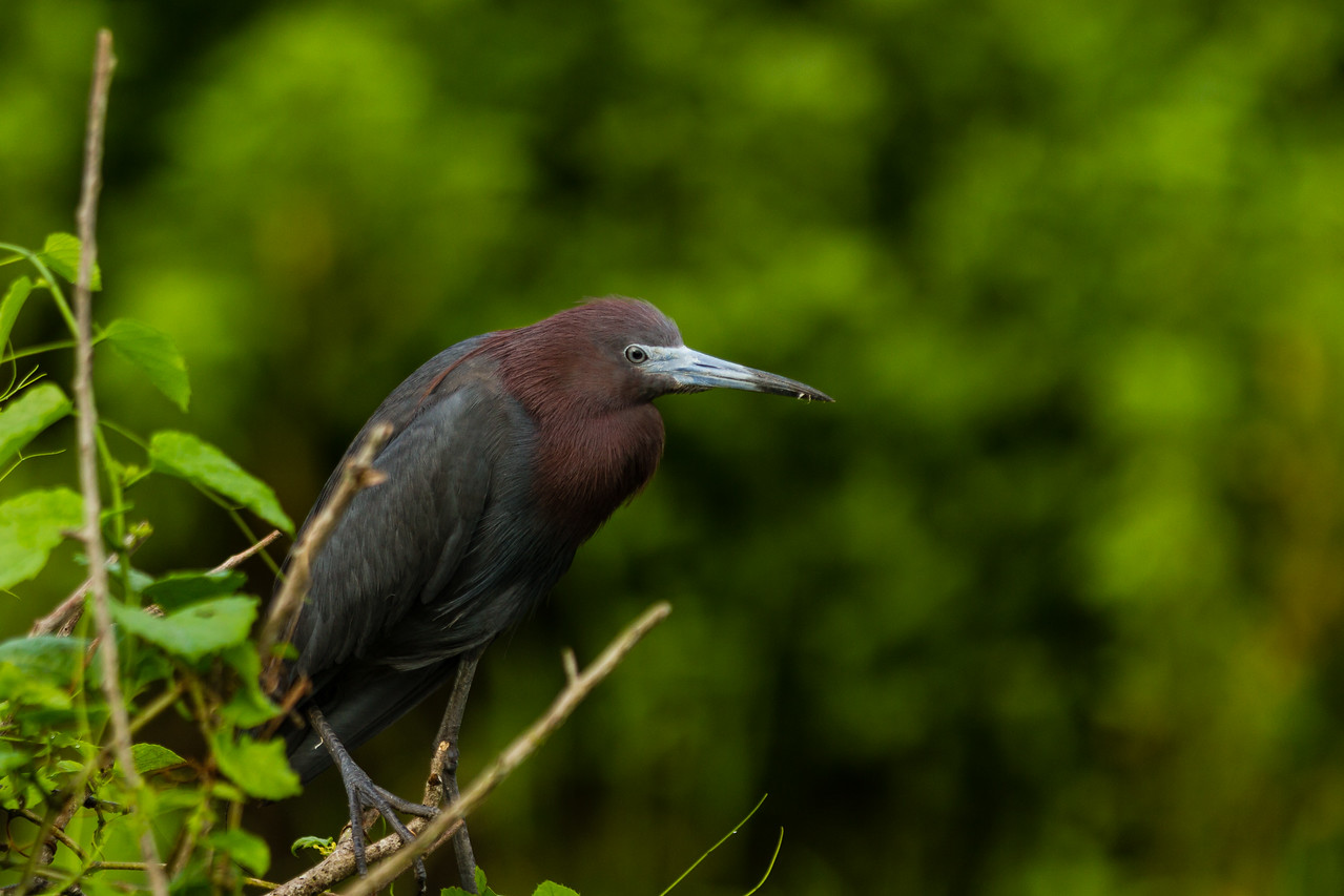 A little blue heron in South Bay on Friday, June 10, 2016. (Joseph Forzano / The Palm Beach Post)