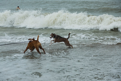 Dogs play in the surf on Juno Beach after Hurricane Matthew moved up the coast on Friday, October 7, 2016. (Joseph Forzano / The Palm Beach Post)
