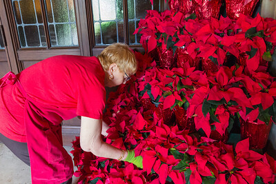 Donna Arietta from Lake Worth puts the finishing touches on one of two poinsettia trees that flank the doors to main entrance at The Church of Bethesda-by-the-Sea in Palm Beach on Wednesday, December 21, 2016.   (Joseph Forzano / The Palm Beach Post)