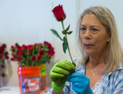 Sally Petito from Tequesta looks over a rose she has just cut in that will be displayed around the high alter and the chapel at the Church of Bethesda-by-the-Sea in Palm Beach. (Joseph Forzano / The Palm Beach Post)