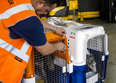A worker at the Lufthansa Cargo dock cuts the straps securing the door on one of the greyhound crates that arrived from Miami International Air from Macau China on Wednesday, January 2, 2019. Elite Greyhound Adoptions in Loxahatchee Groves has been rescuing greyhounds from the infamous Canidrome, in Macau, China.  The Canidrome closed in July 2018 and over 600 dogs are being shipped to rescues in Europe and America. The dogs are crated in Macau, transported to the airport in Hong Kong, flown to Frankfurt, Germany, transferred to another plane and then flown to Miami International Airport, where they pass through customs and eventually get picked up by Sonia Stratemann of Elite Greyhound Adoptions. [JOSEPH FORZANO/palmbeachpost.com]
