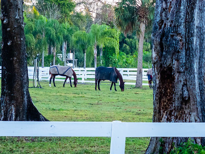 Horses at a Loxahatchee Groves stable on D Road are blanketed for the cold on Tuesday, December 3, 2019. [JOSEPH FORZANO/palmbeachpost.com]