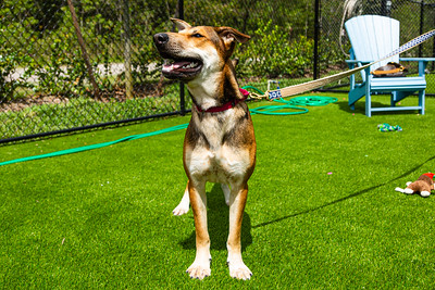 Gigi is a 1 year old female shepherd mix and is part of the fostering program at Furry Friends Adoption, Clinic & Ranch. Furry Friends has started an animal fostering program that is designed to provide companionship to seniors who are self-quarantining during the coronavirus pandemic. [JOSEPH FORZANO/palmbeachpost.com]