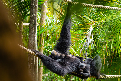 Raya, a Siamang gibbon and her baby, King Louie get a little sun while hanging on a rope walkway at the Palm Beach Zoo on Monday, April 6, 2020. The zoo has been closed since March 18 due to the coronavirus outbreak. [JOSEPH FORZANO/palmbeachpost.com]