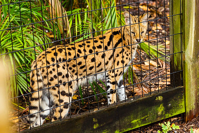 A serval cat at the Palm Beach Zoo in West Palm Beach on Monday, April 6, 2020. The zoo has been closed since March 18 due to the coronavirus outbreak. [JOSEPH FORZANO/palmbeachpost.com]