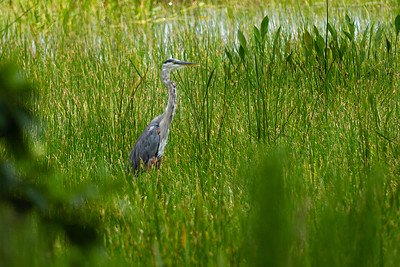 A great blue heron stands still as it hunts in one of the ponds at the Wellington Environmental Preserve in Wellington, Monday, June 22, 2020. [JOSEPH FORZANO/palmbeachpost.com]