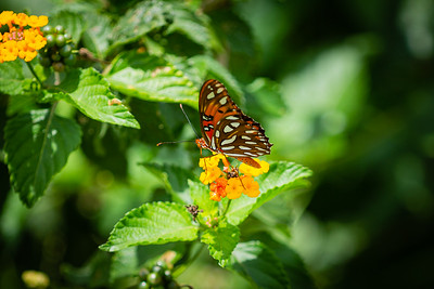 A butterfly lands on on a flower near a trail at the Wellington Environmental Preserve in Wellington, Monday, June 22, 2020. [JOSEPH FORZANO/palmbeachpost.com]
