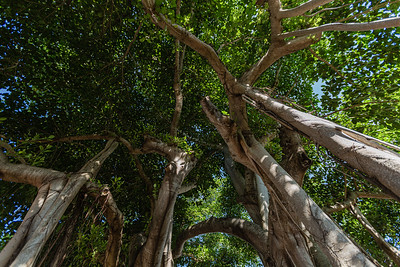 One of the two banyan trees on Puritan Road in West Palm Beach with newly designated historic status, Thursday, July 16, 2020. The City of West Palm Beach's city commission voted on July 13 to give two banyan trees at the end of  Puritan Road historic designations. [JOSEPH FORZANO/palmbeachpost.com]