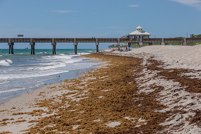 Sargassum piles up on the sands of Juno Beach due to the prevailing easterly winds, Monday, July 20, 2020. Sargassum has plagued Palm Beach County beaches for the past couple of years with ample amounts reaching the Gulf Stream.[JOSEPH FORZANO/palmbeachpost.com]