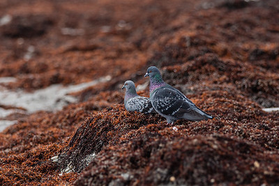 Two pigeons sit on a pile of sargassum on Juno Beach, Tuesday, July 28, 2020. [JOSEPH FORZANO/palmbeachpost.com]