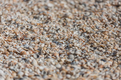 Thousands of sea shells were washed up on the beach at Carlin Park in Jupiter, Monday, September 28, 2020. [JOSEPH FORZANO/palmbeachpost.com]