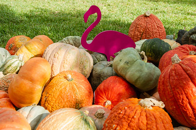 A pink flamingo sits with a pile of pumpkins at the The Royal Poinciana Plaza's Pop-Up Patch for Philanthropy benefitting Cancer Alliance of Help and Hope, Saturday, October 10, 2020. 100 percent of the funds raised from the pumpkin patch will be used to help local cancer patients with their rent/mortgage, utilities, car insurance, car payment and health insurance while undergoing treatment. It's estimated that there will be about 5,000 pumpkins over the duration of the event.(JOSEPH FORZANO / THE PALM BEACH DAILY NEWS)