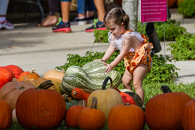 18-month-old Rowan Brammer of Jupiter tries to move a large pumpkin at the The Royal Poinciana Plaza's Pop-Up Patch for Philanthropy benefitting Cancer Alliance of Help and Hope, Saturday, October 10, 2020. 100 percent of the funds raised from the pumpkin patch will be used to help local cancer patients with their rent/mortgage, utilities, car insurance, car payment and health insurance while undergoing treatment. It's estimated that there will be about 5,000 pumpkins over the duration of the event.(JOSEPH FORZANO / THE PALM BEACH DAILY NEWS)