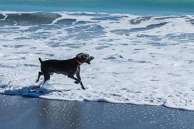 CCioli, a 3 1/2 year old Weimaraner, plays in the surf at Jupiter Beach in Jupiter, Monday, October 26, 2020. (JOSEPH FORZANO / THE PALM BEACH POST)