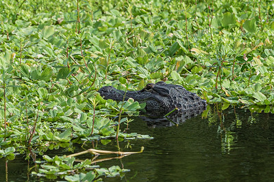 An alligator floats in the waters of Wakodahatchee Wetlands in Delray Beach, Friday, November 6, 2020. Due to COVID-19 restrictions, everyone must wear a mask if they can't social distance, and the boardwalk is one direction only. (JOSEPH FORZANO / THE PALM BEACH POST)