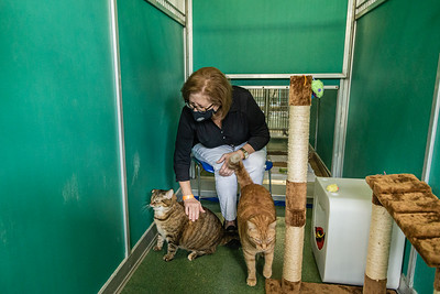 Palm Beach County Animal Care and Control Director Dianne Sauve sits in a converted dog kennel and plays with Tiger Lily and Kiwi, two cats that are available for adoption at the West Palm Beach facility, Thursday, November 12, 2020. There is an all time low number of dogs in the shelter and staff is converting the empty kennels into rooms for their cats, giving the felines more space to move around.  (JOSEPH FORZANO / THE PALM BEACH POST)