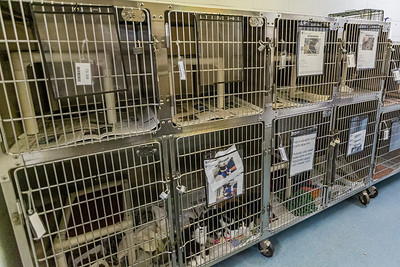 The normal sized cat kennels at Palm Beach County Animal Care and Control in West Palm Beach are much smaller than the newly converted dog kennels, Thursday, November 12, 2020. There is an all time low number of dogs in the shelter and staff is converting the empty kennels into rooms for their cats, giving the felines more space to move around.  (JOSEPH FORZANO / THE PALM BEACH POST)