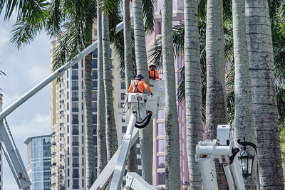Workers in boom lifts wrap the palm trees lining Royal Palm Way in Palm Beach with Christmas lights, Monday, November 19, 2020. (JOSEPH FORZANO / THE PALM BEACH POST)