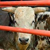 A bull stares down the competition during the first round at the Professional Bull Riders Built Ford Tough Series, Chute Out presented by Cooper Tires at the Scottrade Center in St. Louis, Missouri