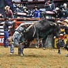 Rider CHASE OUTLAW  gets his had caught in the ropes after a successful ride on bull SPITBALL during the final round at the Professional Bull Riders Built Ford Tough Series, Bass Pro Chute Out presented by Cooper Tires at the Scottrade Center in St. Louis, Missouri