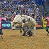 Rider VALDIRON DE OLIVEIRA winds up under Bull RAVEN FLYER after being bucked off during the second round at the Professional Bull Riders Built Ford Tough Series, Bass Pro Chute Out presented by Cooper Tires at the Scottrade Center in St. Louis, Missouri