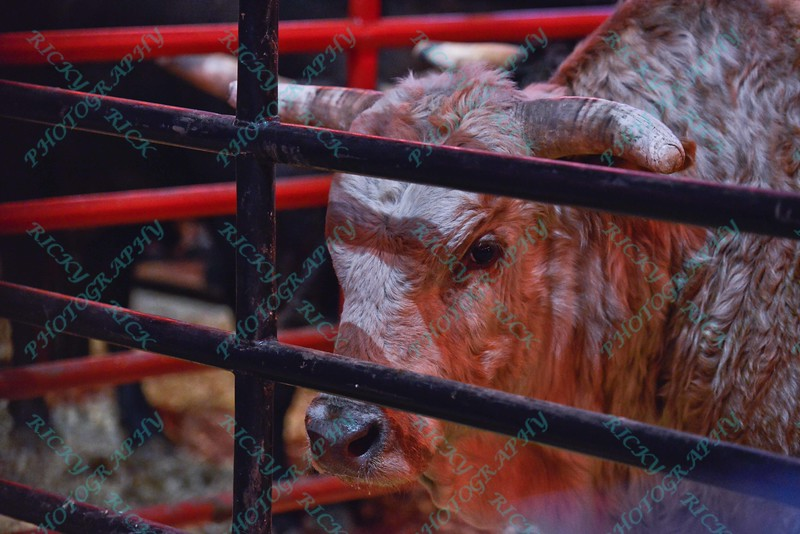 A bull waits n the pen during the first round at the Professional Bull Riders Built Ford Tough Series, Bass Pro Chute Out presented by Cooper Tires at the Scottrade Center in St. Louis, Missouri