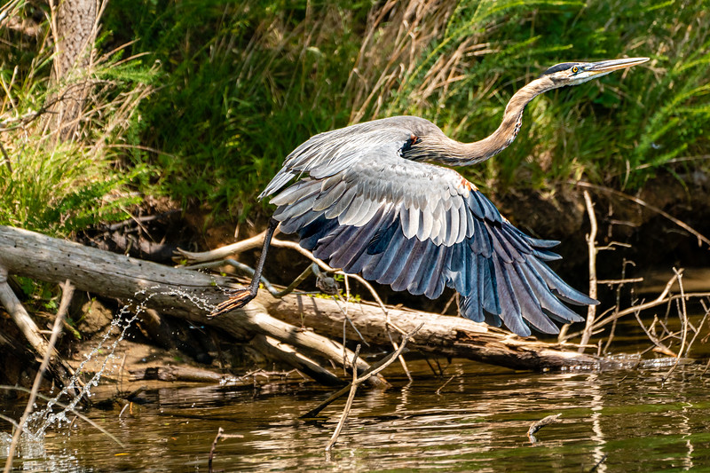 Animal #1:  This is my favorite photo of the year.  I love the trail of water behind the Heron.