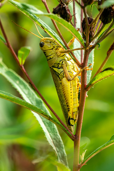 This grasshopper is just for show.  Since the grasshopper is larger, I didn't need to crop as much.