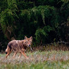 """This was a lucky happenstance coming across a Coyote on my walk one morning.  Also shooting Aperture Priority AutoISO minSS but I guess I had it set to """"fast"""" instead of """"faster, resulting in SS of 1000."""