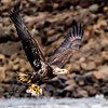 This was shot the same day.  ISO 4000.  I used your technique for noise reduction, reducing the noise globally, then using the brush to paint the bird and subtract the noise reduction.  I am not sure any way to further separate this brown juvenile eagle from the brown rocks in the background?  I do like the expression on the fish.