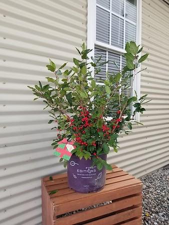 Ilex verticillata Wildfire™ Winterberry #3