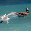 These beautiful little sea birds, follow, mimic and feed right along side of the pelicans