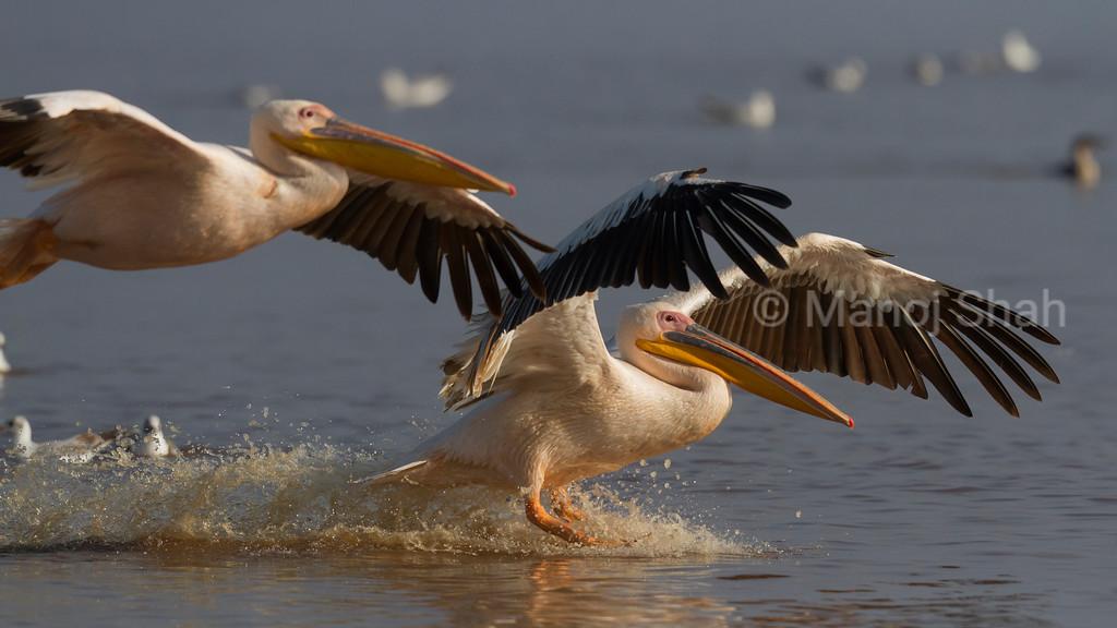White Pelicans landing at Lake Nakuru National Park.