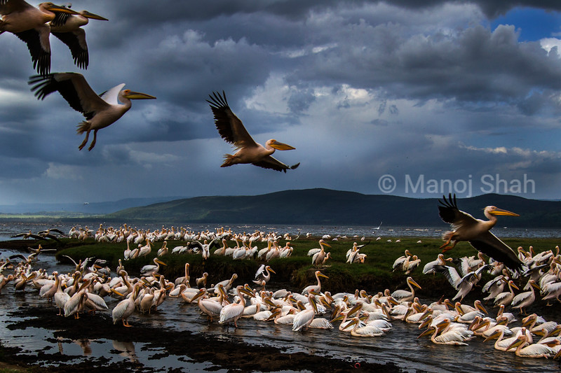 White Pelicans at Lake Nakuru