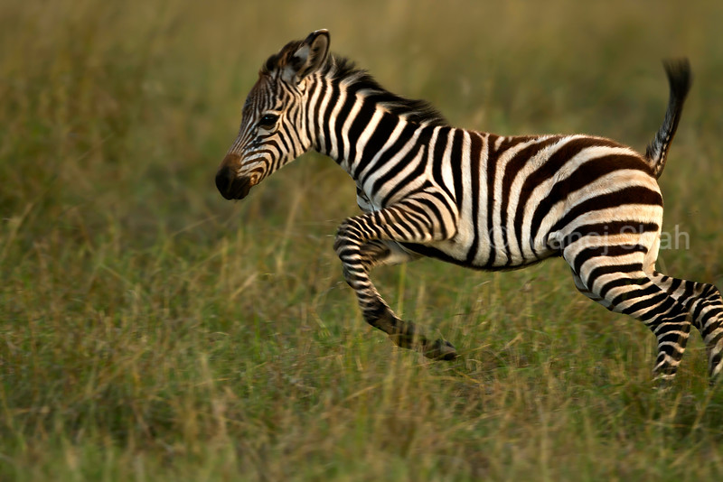 Zebra foal playing